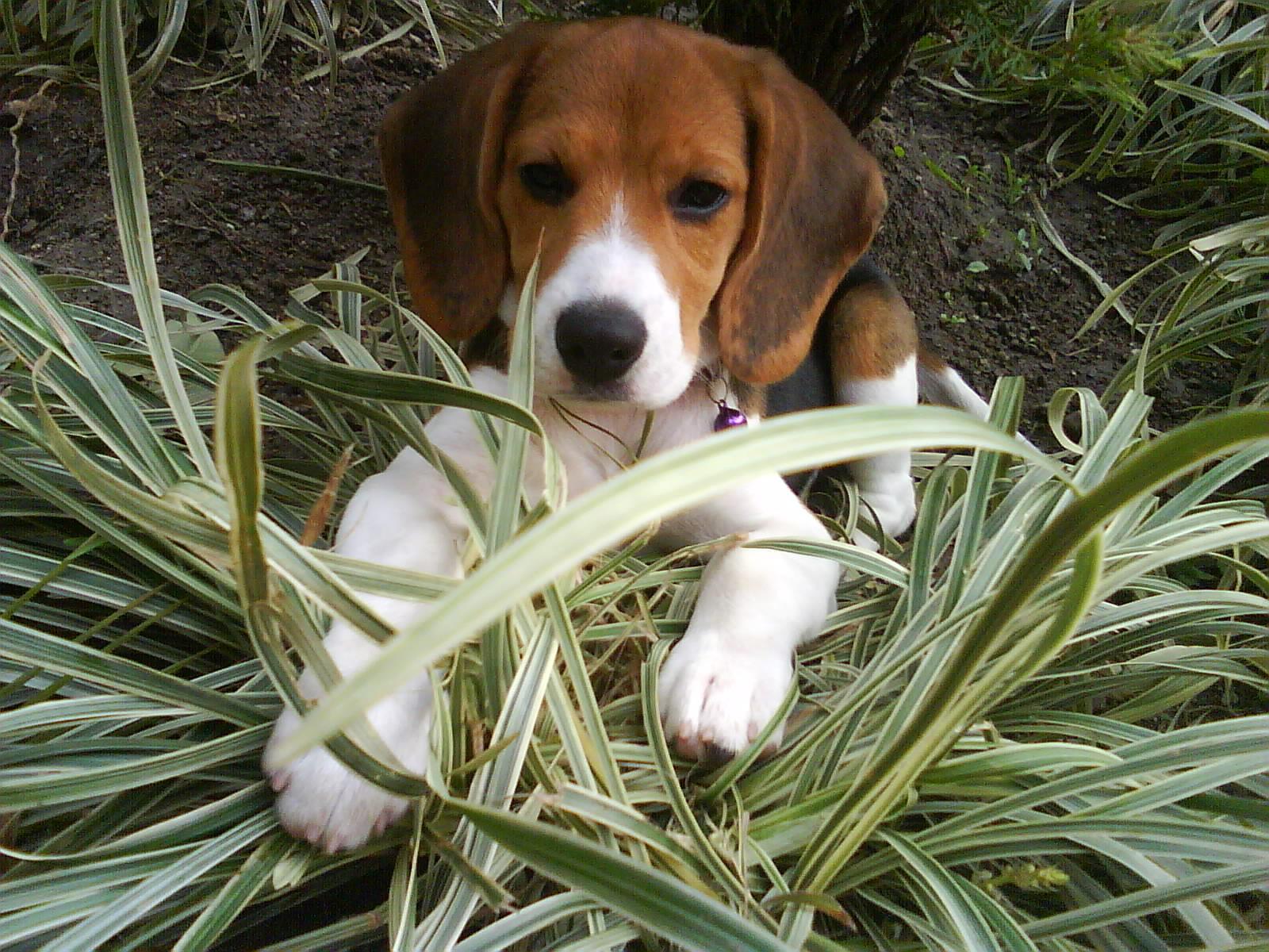 Ikbhal: beagle dogs