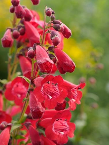 flores rojas de penstemon