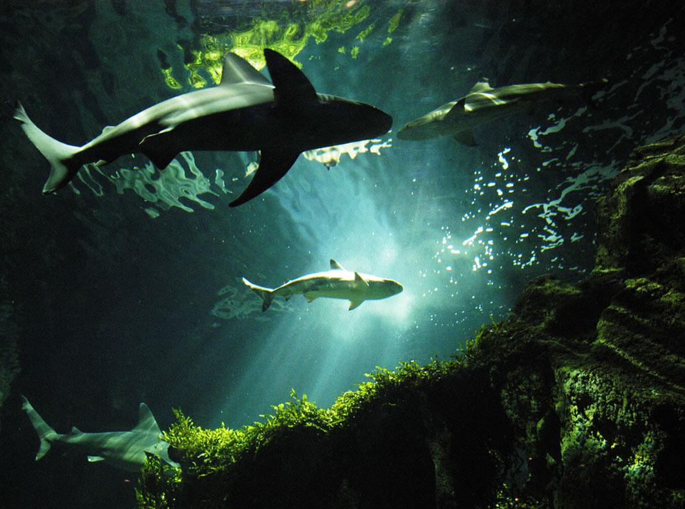 اسماك القرش تحت الماء 1.jpg