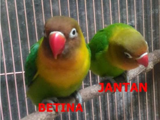 Gunakan 9 Cara Ini Untuk Membedakan Lovebird Jantan Dan Betina Hobi Burung