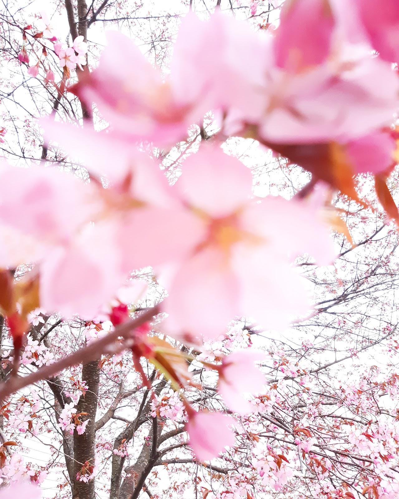 Kirsikankukat ovat täällä!