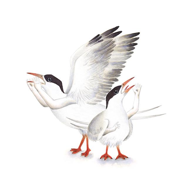 ilustración de pájaros, charrán común, aves de la albufera, sterna hirundo, ilustración de aves, aves acuáticas, Inktober, Inktober 2017,