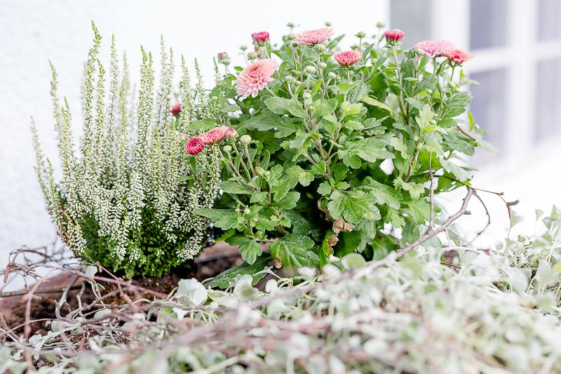 Mein Garten im September, Pomponetti, Herbstbepflanzung am Eingang
