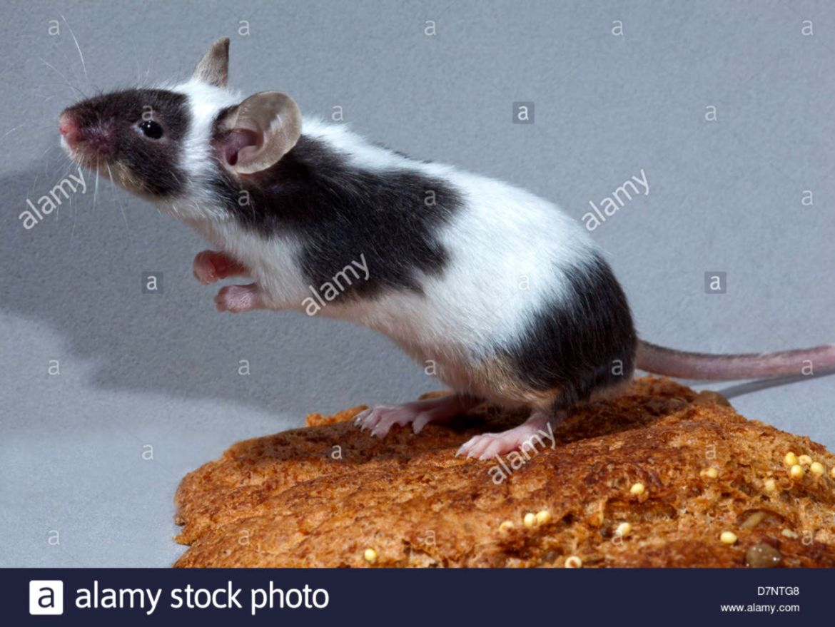 Pet Fancy Mouse Mus musculus Piebald black and white standing