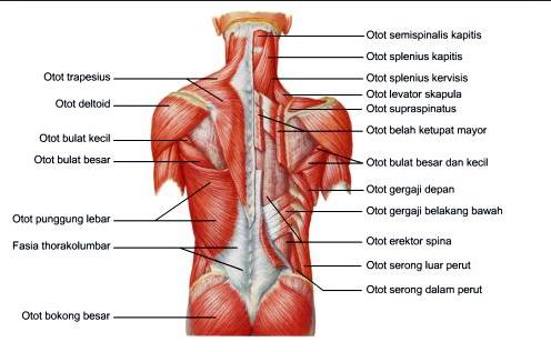 C E O Makalah Makalah Struktur Tubuh Pada Manusia