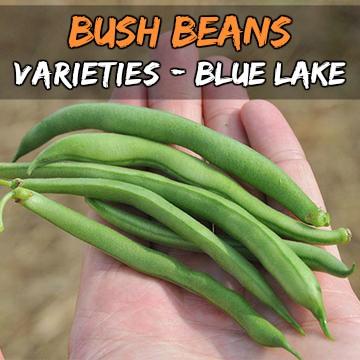 Blue Lake beans