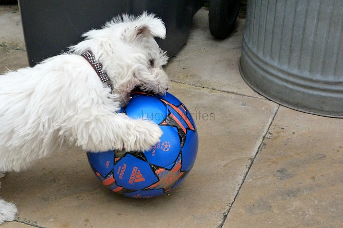 a picture of a westie playing football