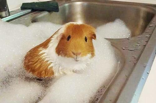 Cavia foto 39 s - Foto in een bad ...