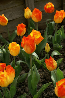 Tulipes Greigii - Tulipa Easter surprise - Tulipe Easter surprise - Tulipe Greigii Easter surprise