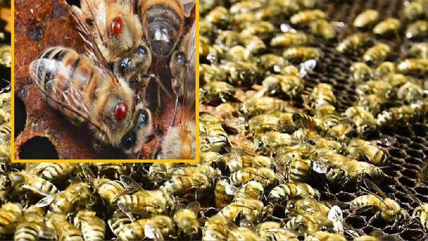 333033 627877 - Importación de abejas con Loque Americana pone en riesgo la apicultura - El Apicultor Español: Actitud y Aptitud Apícola