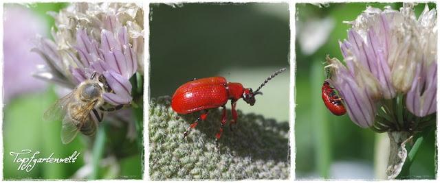 Gartenblog Topfgartenwelt Schädlinge und Nützlinge: Biene und Lilienhähnchen auf Schnittlauch, Lilienhähnchen befallen sämtlichen Lauch im Garten