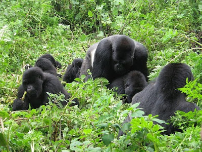 Rwanda Cultural Safaris, Africa Adventure Safaris, Africa Tours, Safari Rwanda, Rwanda Tours, Gorilla Tours, Wildlife Safari, Rwanda Safari, African Safari, Gorilla Safaris, Congo Tours, Kenya Safari, Africa Safari Parks, Uganda, Gorillas, Safaris, Holidays, Wildlife, Trips, Kenya, Tanzania, Rwanda,
