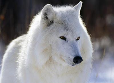 Lobo blanco, Puertos de Beceite