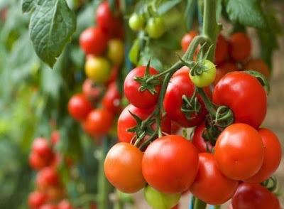 Cara Budidaya Tomat Organik