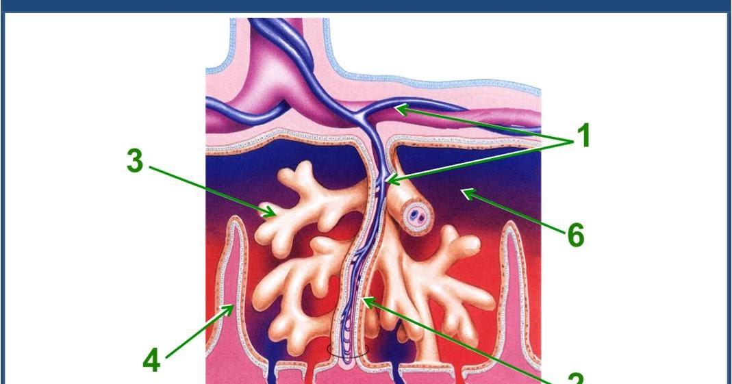 SOS EMBRIOLOGIA HUMANA: Placenta: Vellosidades