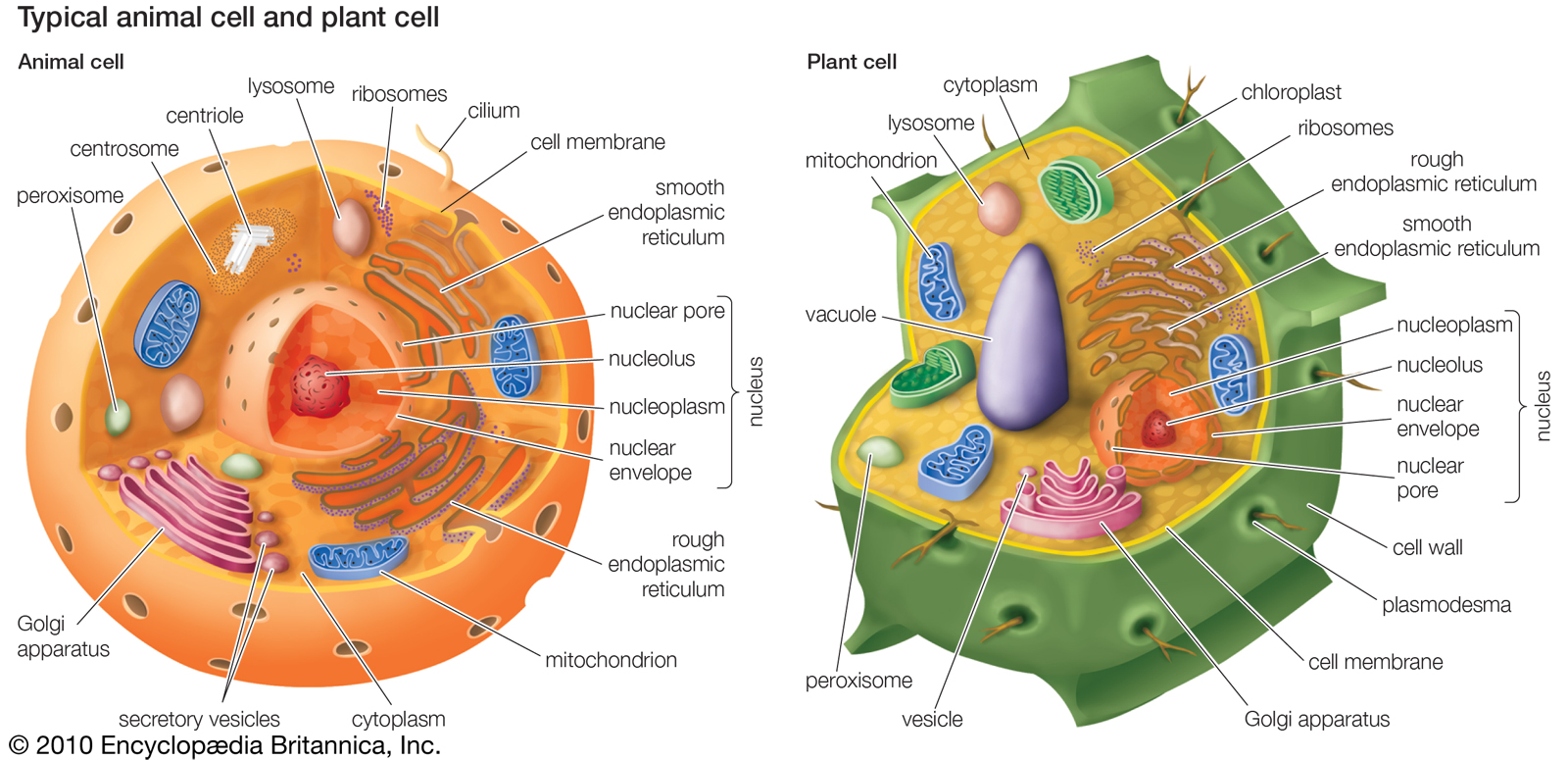 plant cell animal venn diagram 2007 club car precedent 48v wiring cuthbert 7th grade science day to december 2012