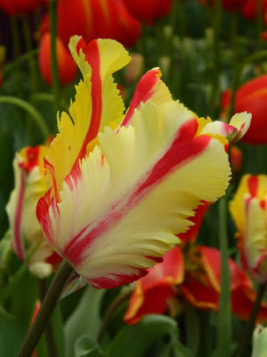2017 Centennial Park Conservatory Spring Flower Show Flaming Parrot Tulip by garden muses-not another Toronto gardening blog