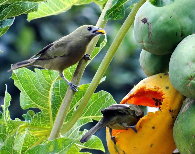 Resultado de imagem para sanhaçu do coqueiro