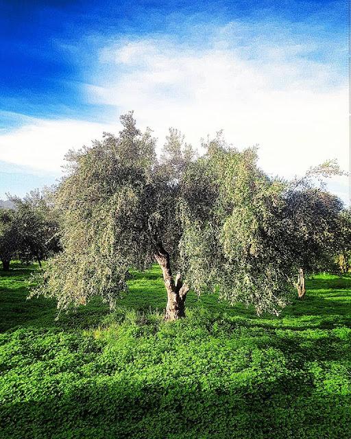 ''Ηταν εντυπωσιακό το πόσο φορτωμένη ήταν...γεμάτη καρπό.... και η αντίθεση των χρωμάτων το πράσινο με το μπλε''   Μαρία Σουλαδάκη-Φωτογράφος    Τοποθεσία φωτογραφίας Σισι Ηρακλείου