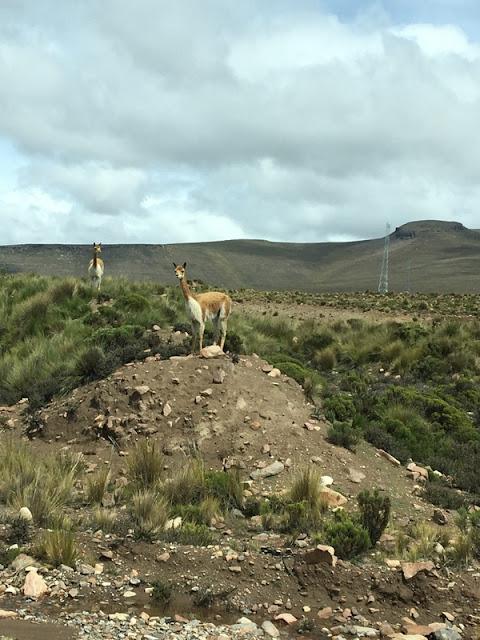 wild vicuña in Arequipa province, Peru