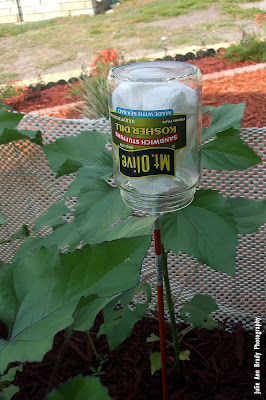Earwig Bug Trap Jar in Sunflower Garden on May 9, 2018