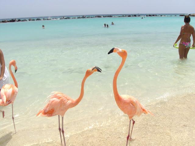 Flamingos na praia particular do Hotel Renaissance, Aruba