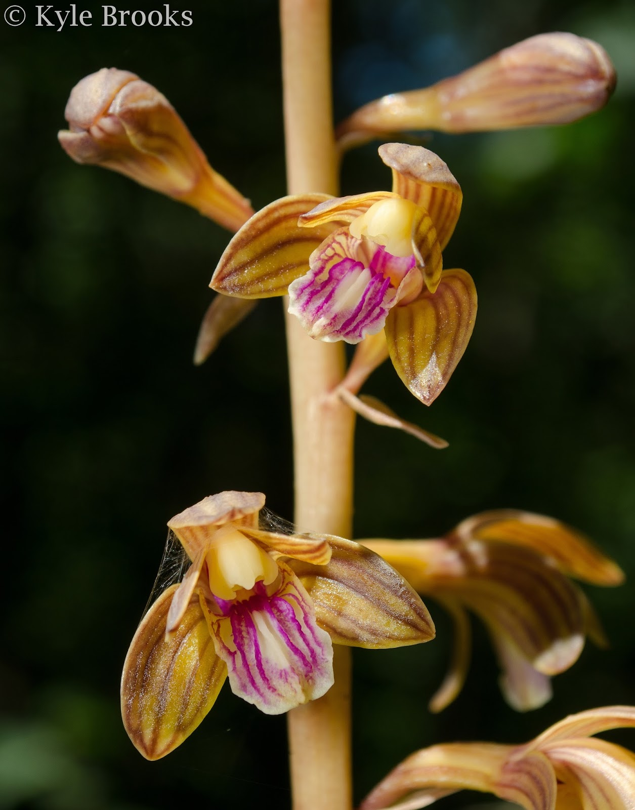 Crested Coralroot Flowers