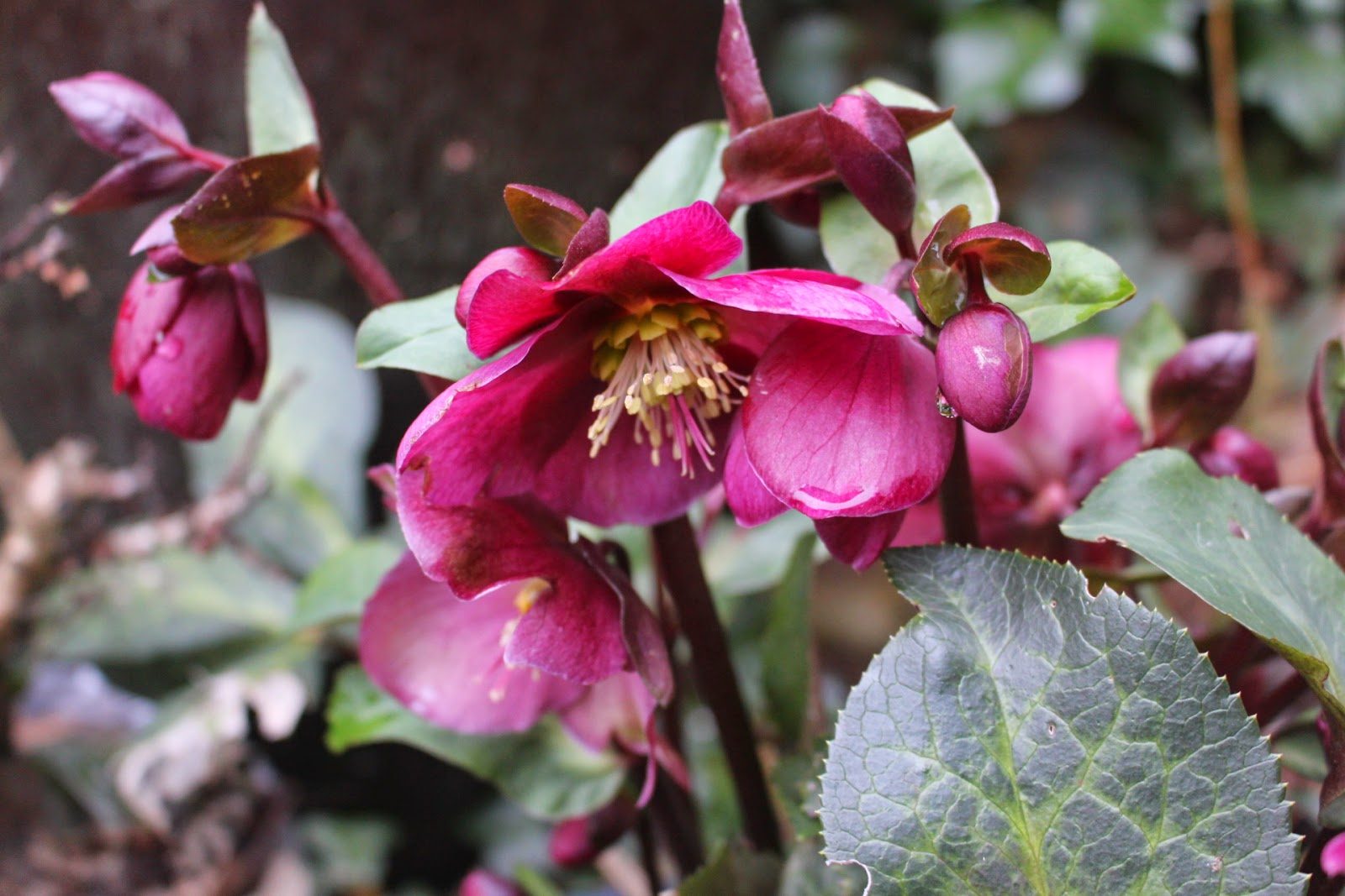 Potted hellebore, 'Anna's Red'