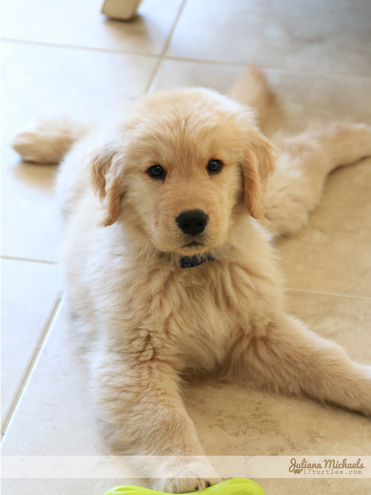 Lincoln 9 Weeks Old - Golden Retriever
