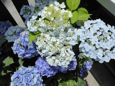 山田池公園 花しょうぶ園 アジサイの植木鉢
