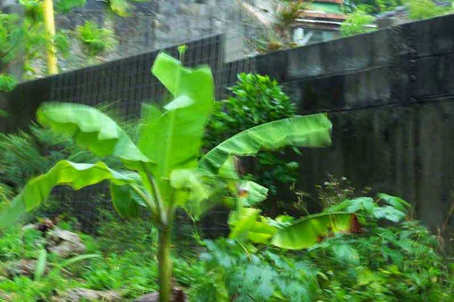 motion blur occurs as wind moves banana leaves