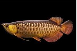 Ikan Hias Air Tawar Termahal jenis arwana