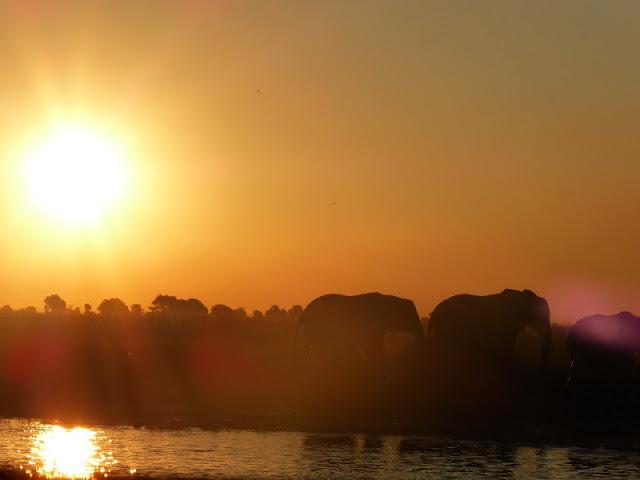Elefantes al atardecer en Chobe