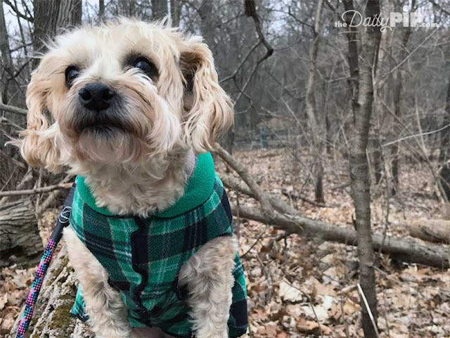 Ruby likes to wear her Gold Paw Fleece while walking in the woods