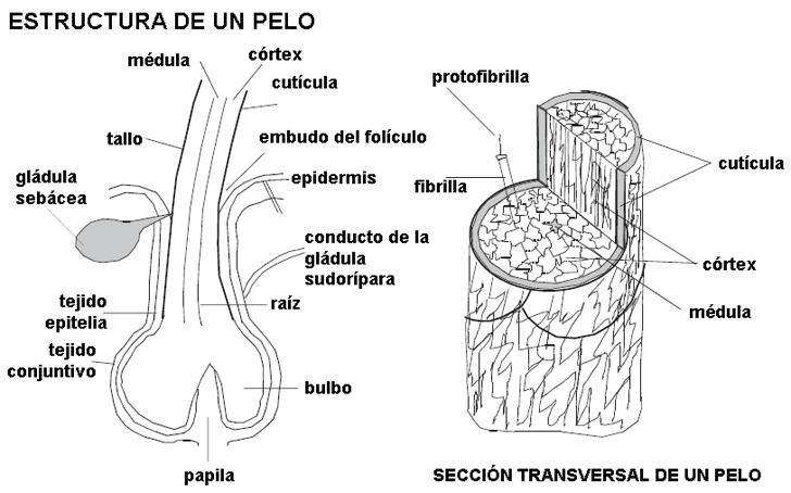 Contemporáneo La Anatomía Del Cabello Patrón - Anatomía de Las ...