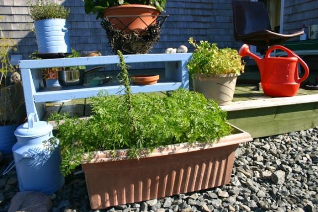 garden in pots: carrots