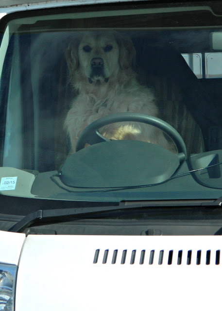 Driver Dog Golden Retriever Driving Van Motor Home Car