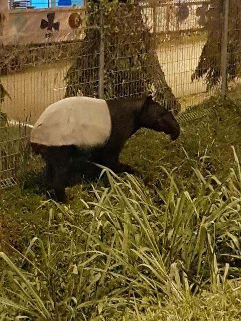 Bomba dan JPAM bunuh tapir liar di Hulu Langat