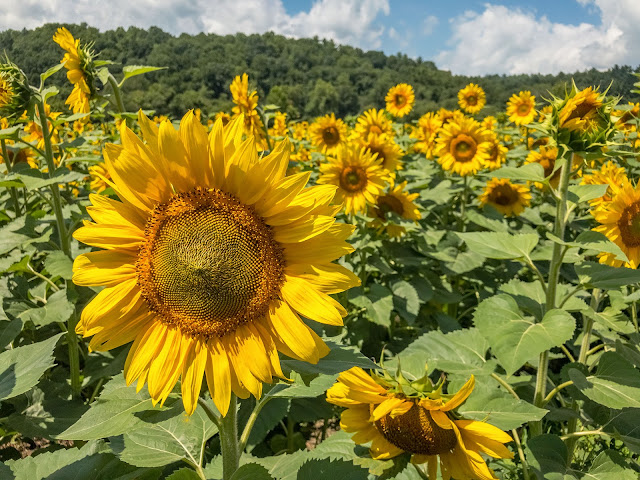 Biltmore Estate Sunflowers