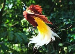 característica mais marcante das aves-do-paraíso