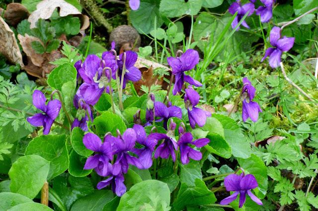 Viola%2Bodorata%2Bplant.jpg