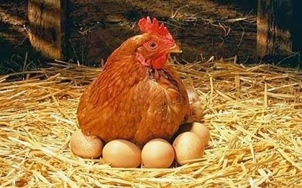 Αγρότης νόμιζε ότι η κότα του κλωσούσε απλά τα αυγά της... - Έλα όμως που δεν ηταν τα αυγά!!! (βίντεο)