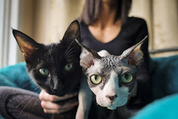 OMG ! SOMEONE IS SCAMMING BUYERS BY SELLING $700 SHAVED KITTENS AS IF THEY WERE HAIRLESS SPHYNX