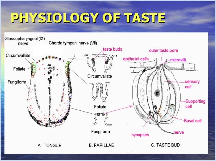 Phisiology of taste s t r a v a g a n z a phisiology of taste fandeluxe Gallery