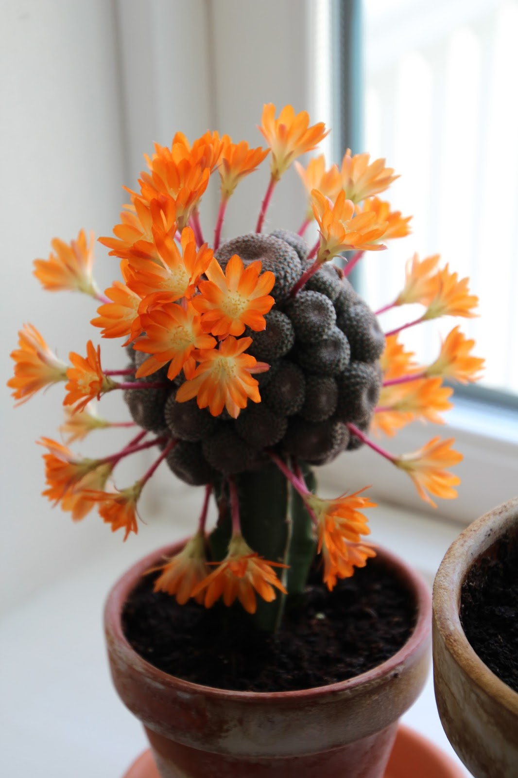 odla kaktusar