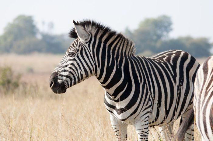 Mengapa Tubuh Zebra Bergaris Hitam Putih?