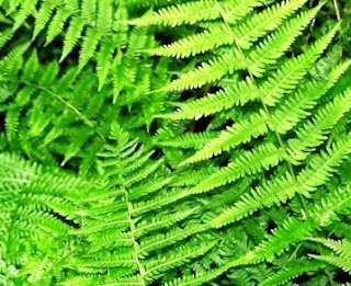 Ciri-ciri plantae dan Klasifikasi Kingdom Plantae