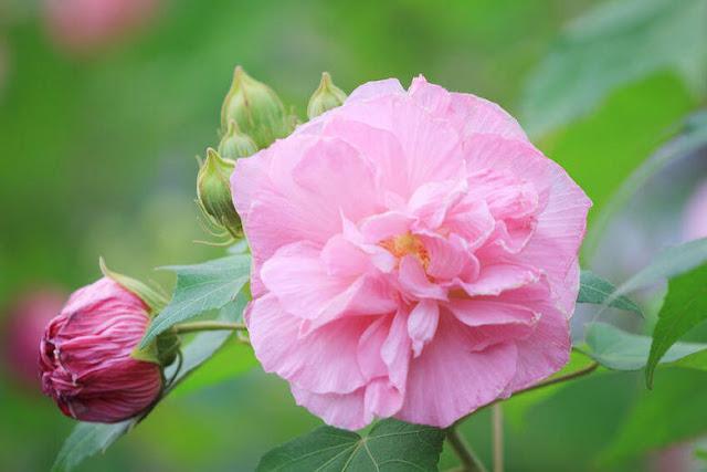hinh anh dep hoa phu dung