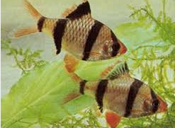 Jenis Ikan Hias Air Tawar Sumatra