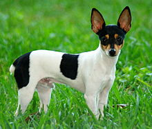 Toy Fox Terrier dog outdoor